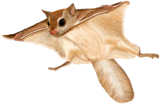 Flying squirrel png. New jersey pest control
