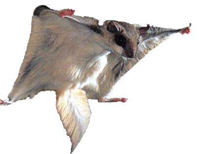 Flying squirrel png. Ccny literacy how to