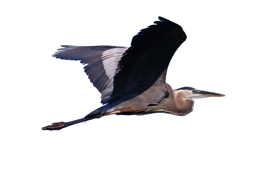 Heron vector great blue. Grey bird cormorant illustration