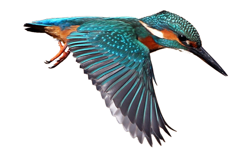 Flying vector kingfisher. Download free png background