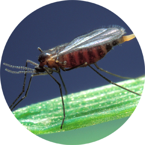 Vector mosquitoes gnat. Mosquito like not a