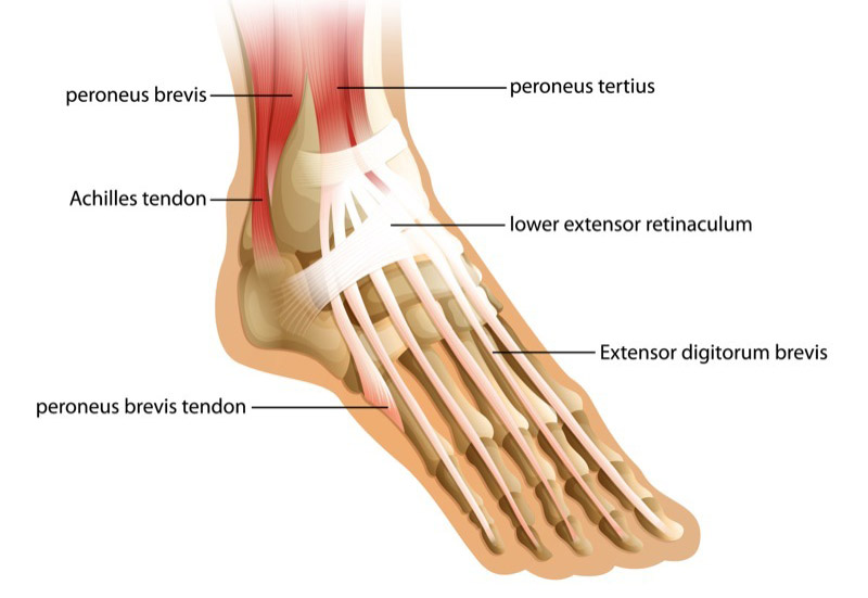 Foot clipart ankle joint. Get to the base