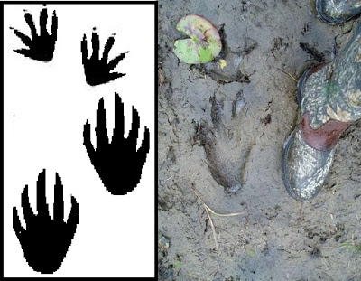 Footprints clipart alligator. Frontiers of zoology corners