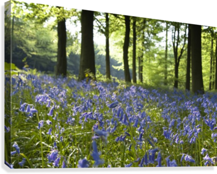 Forest floor png. Bluebells on pacificstock canvas