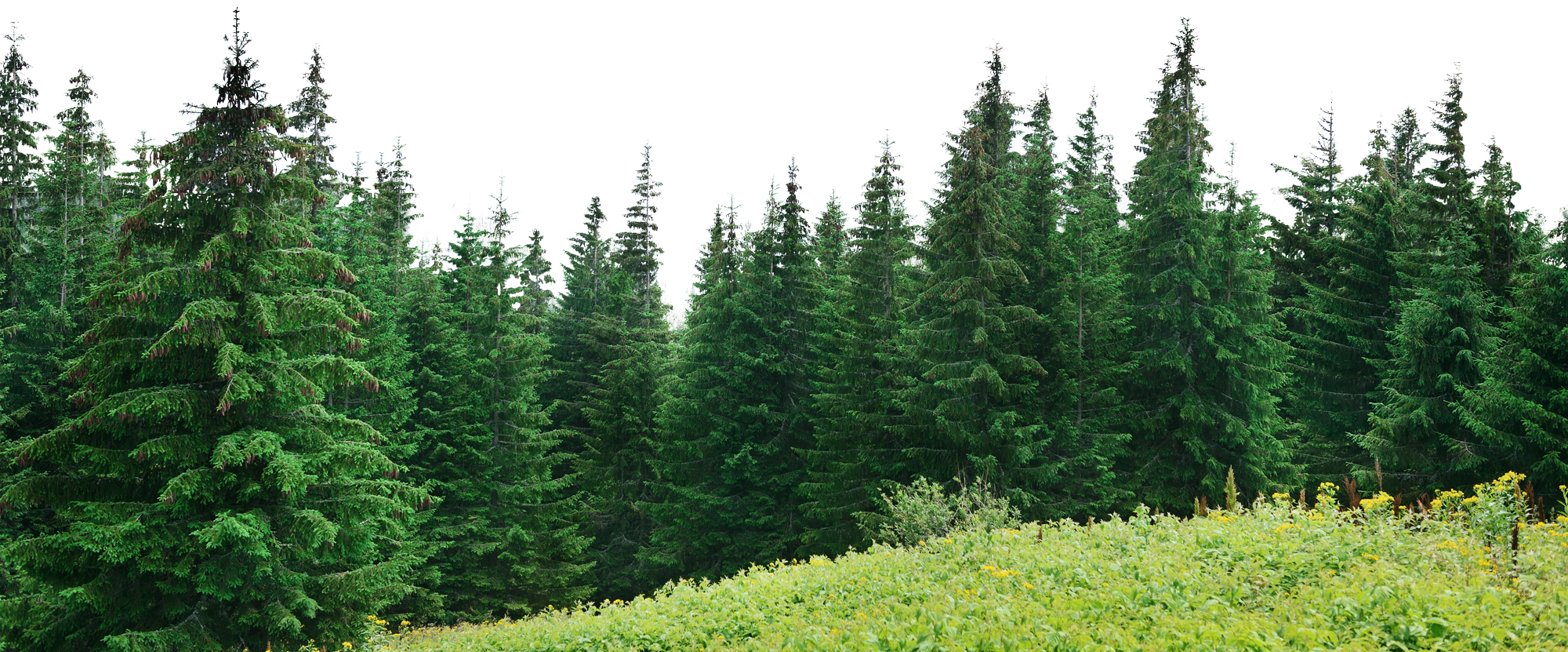Forest pine trees png. Big tree images in