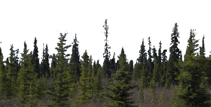 Forest pine trees png. Images in collection page