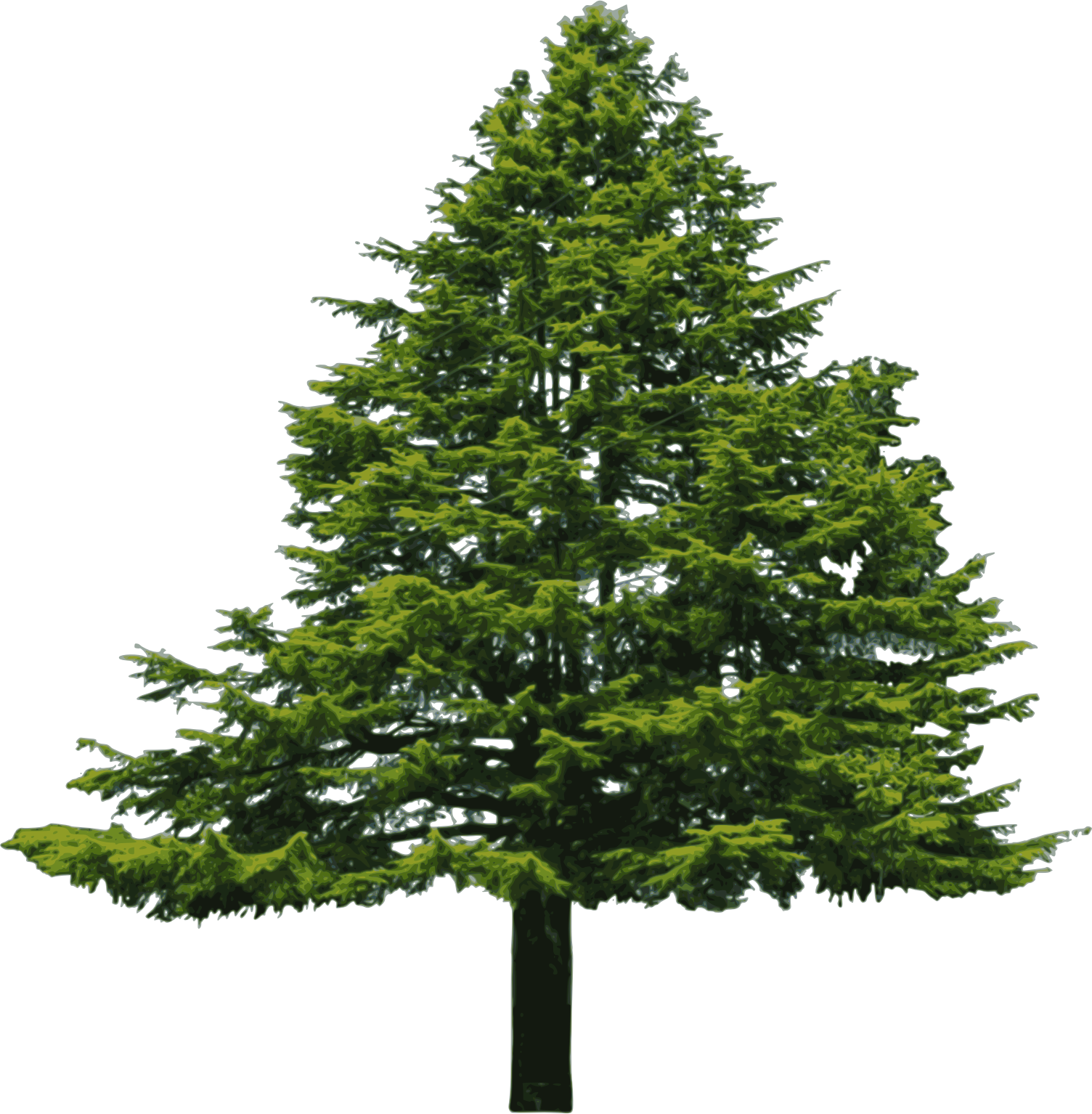 Forest pine trees png. Wide tree transparent images