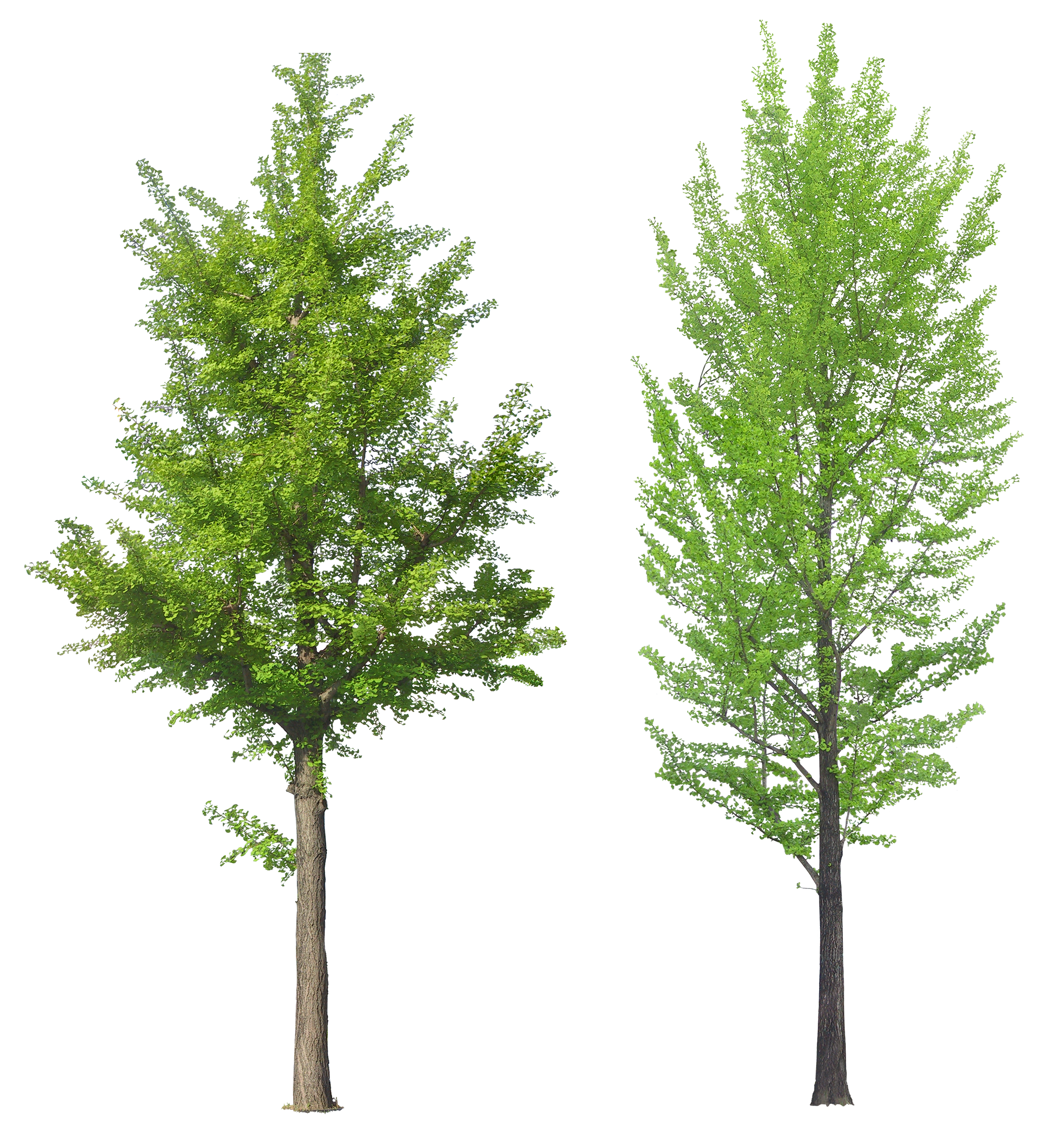 Forest tree png. Images pictures download free