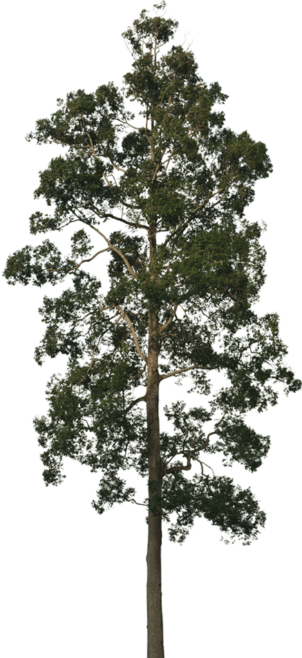 Forest trees png. New forests conservation forestry