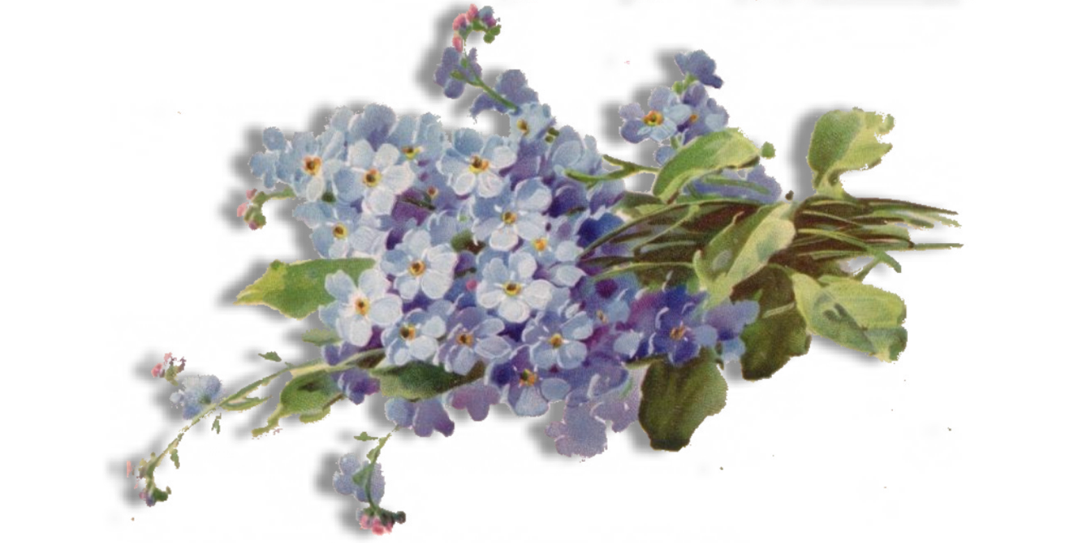 Forget me not flower png. Free download mart