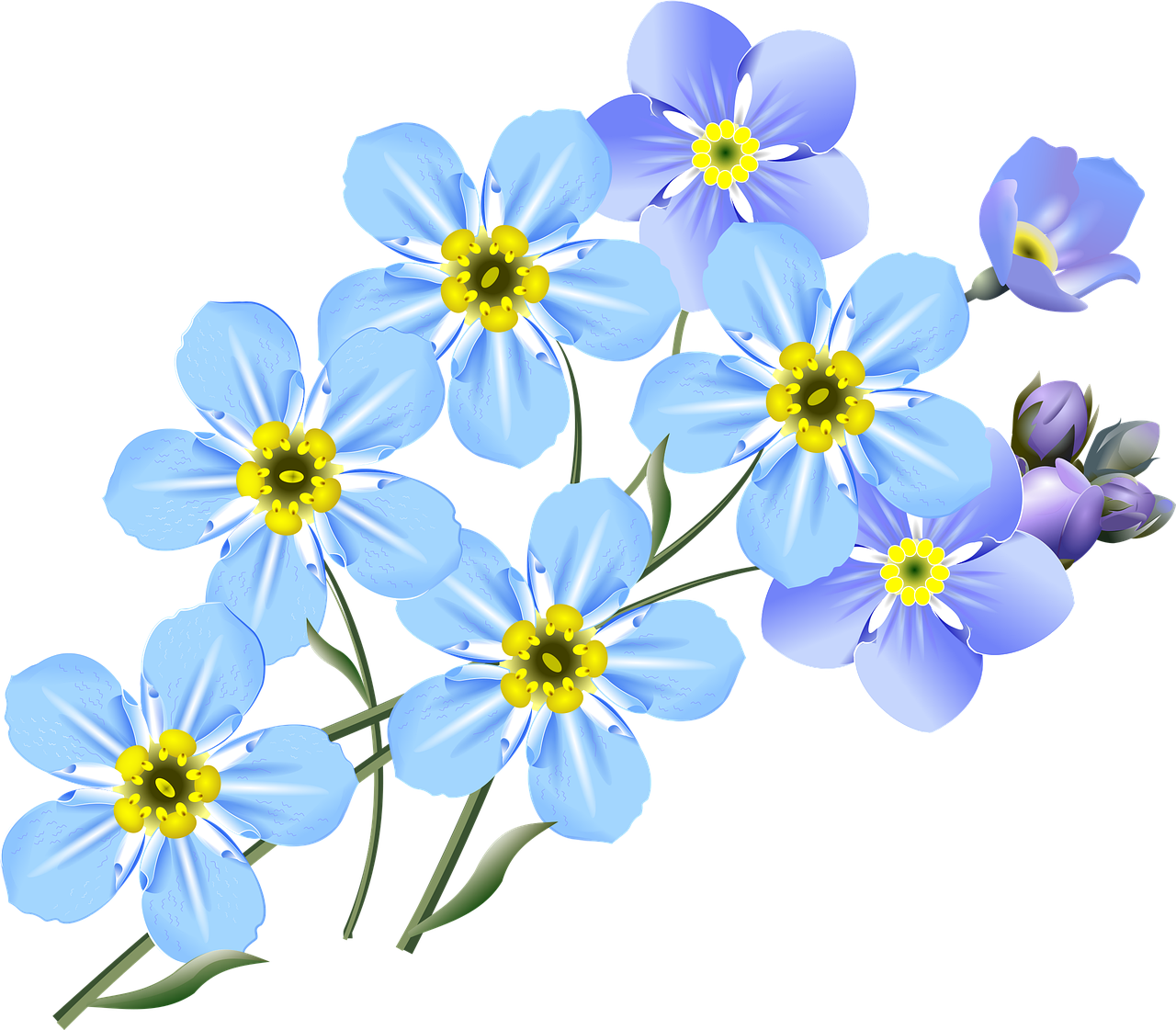 Forget me not flower png. Drawing art clip transprent