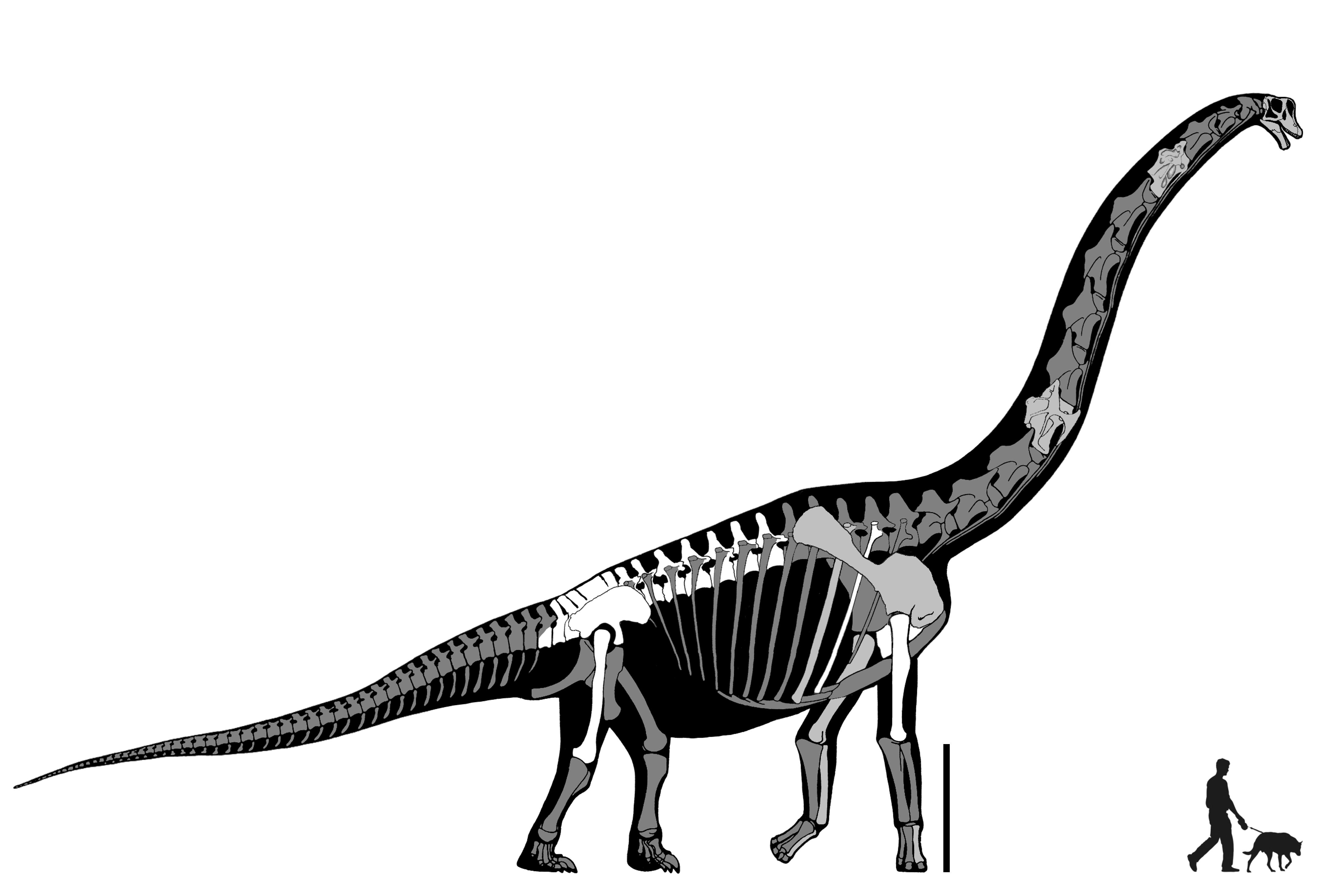 Brancai is not sauropod. Fossil clipart brachiosaurus png black and white stock