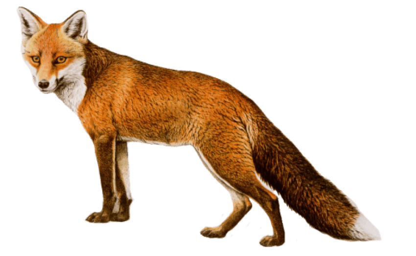 Fox png. Download images background toppng