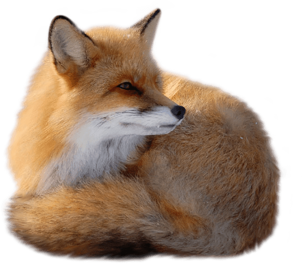 Fox png. Lying down right transparent