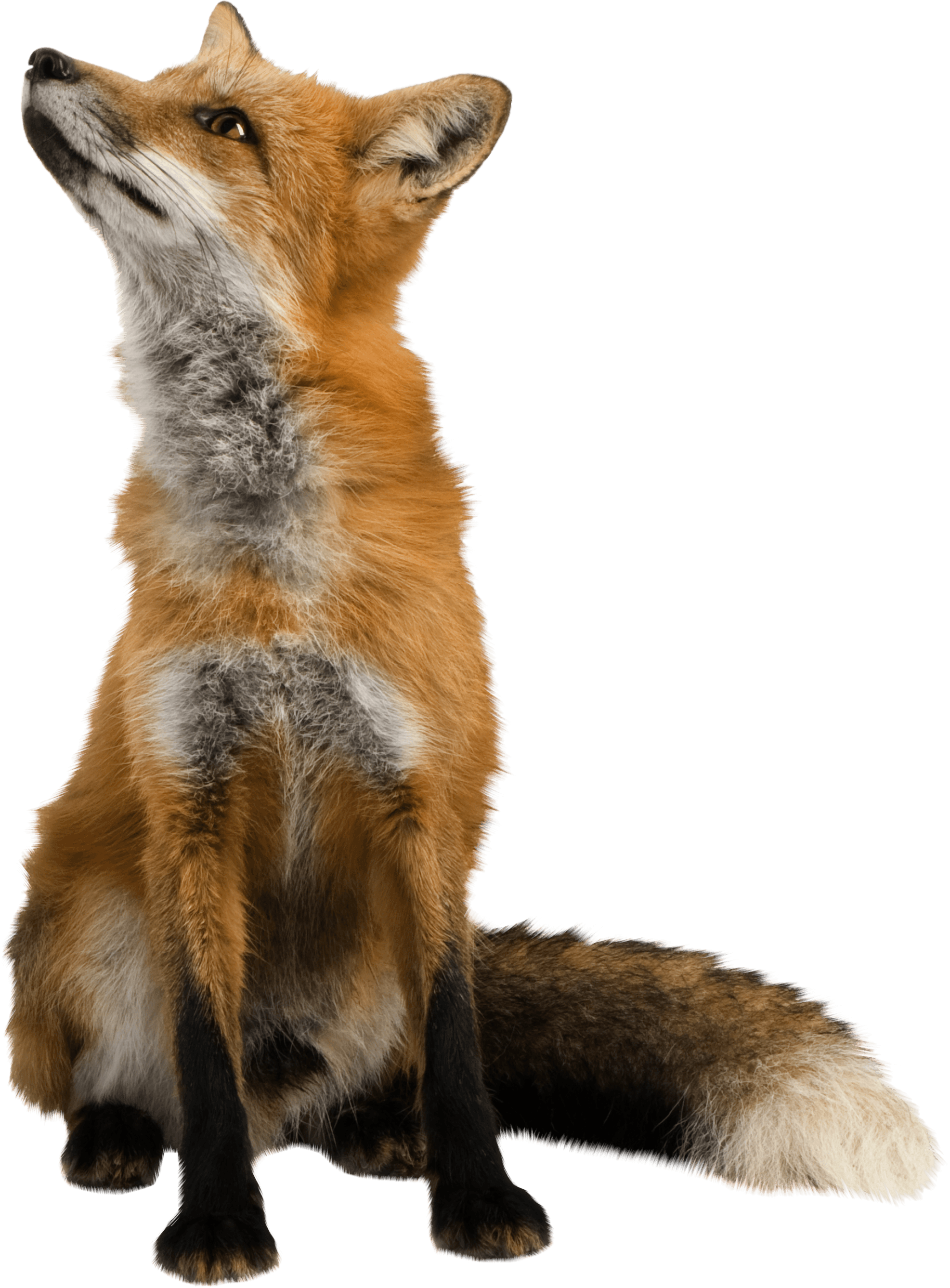 Fox png. Looking up transparent stickpng