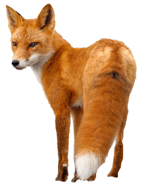 Fox png. Free images toppng transparent