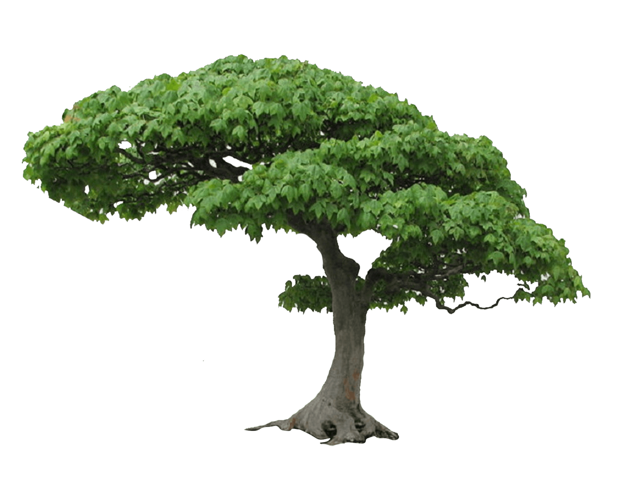Bonsai tree png. Picture pngall com textures