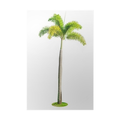 Foxtail palm png. Tree isolated on white