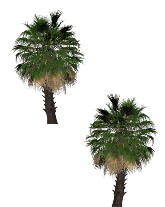 Foxtail palm png. Pinkangel s graphics eclipse