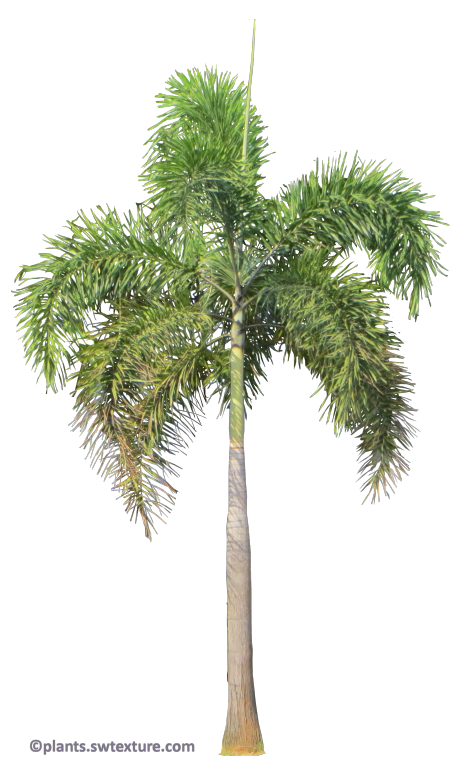 Foxtail palm png. Tropical plant pictures wodyetia