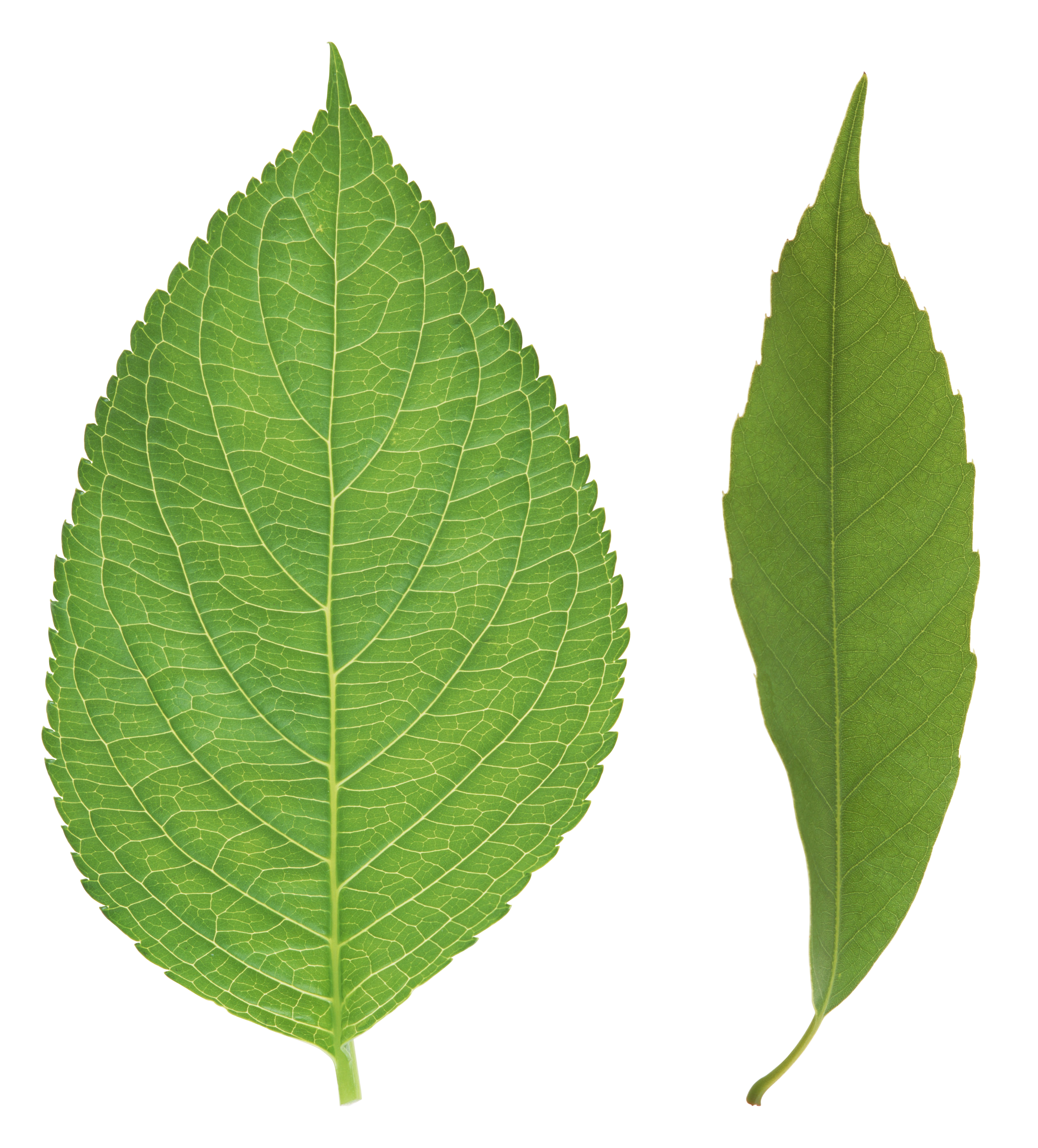 leaves .png png