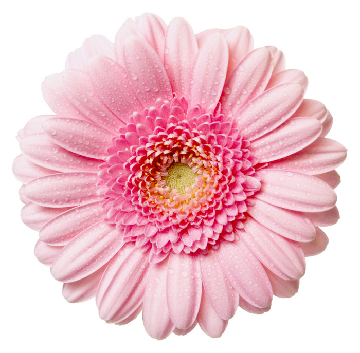 light pink flower png