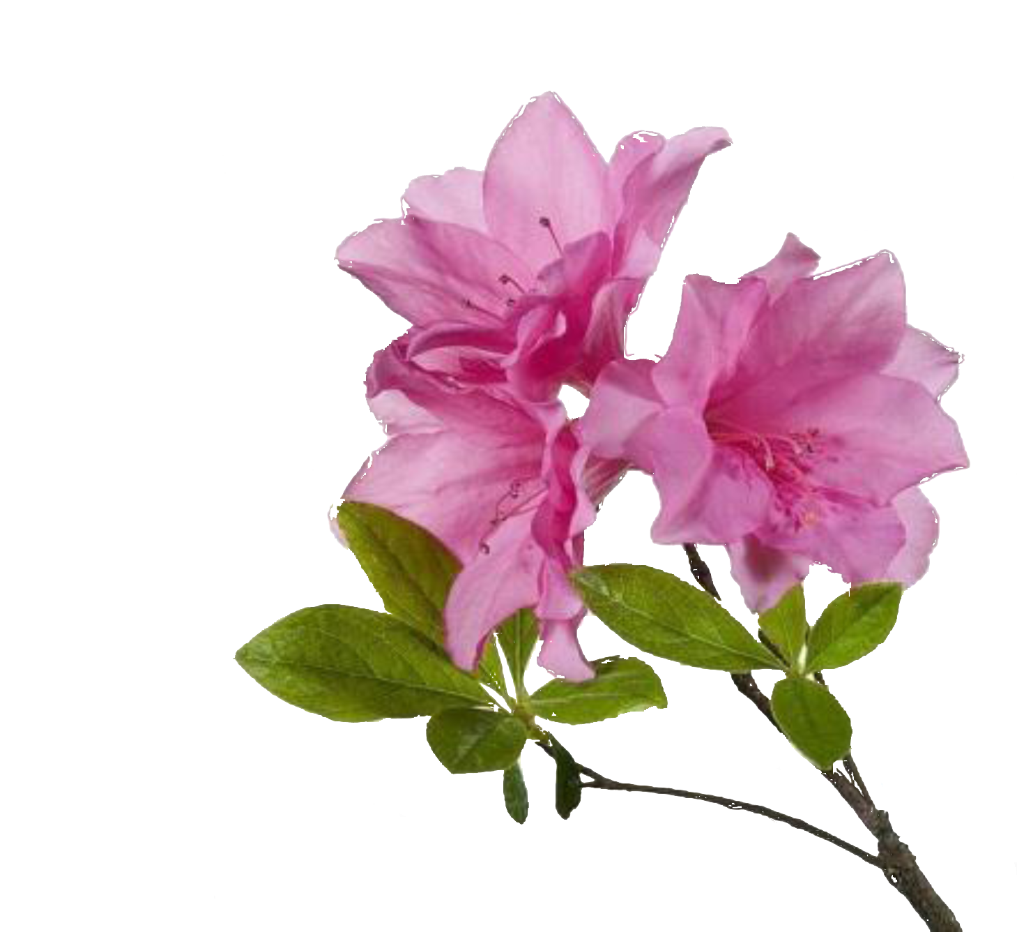Free flower png. Download for in high