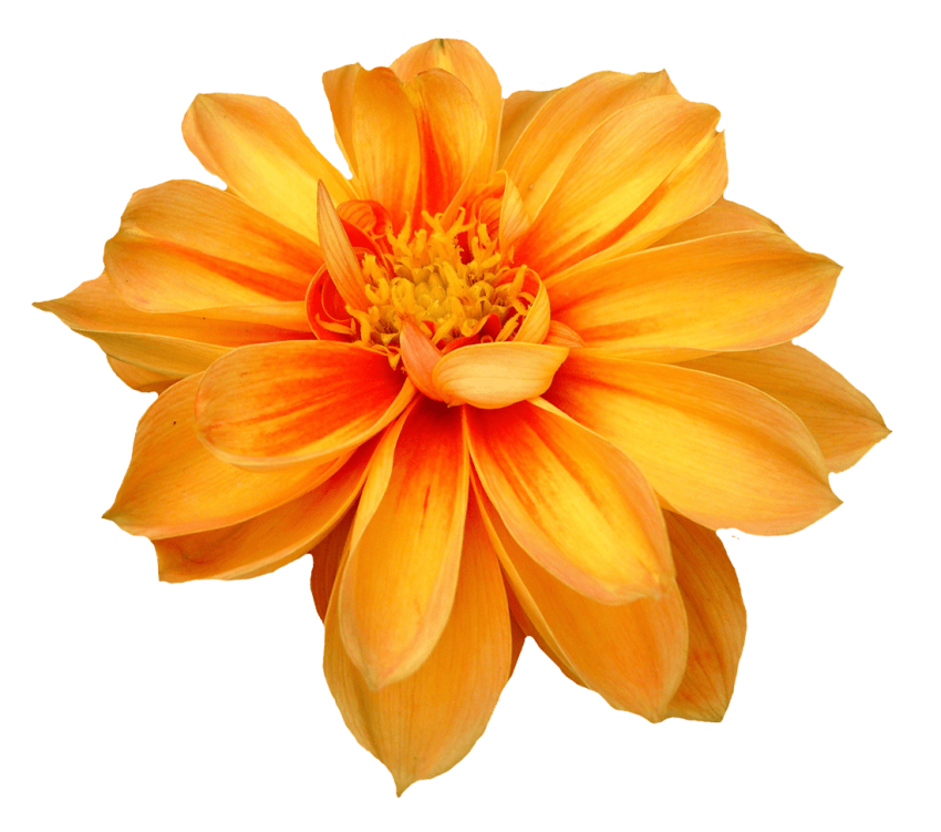 Free flower png. Dahlia images toppng transparent