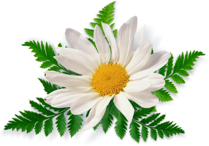 Free flower png images. Camomile image picture download