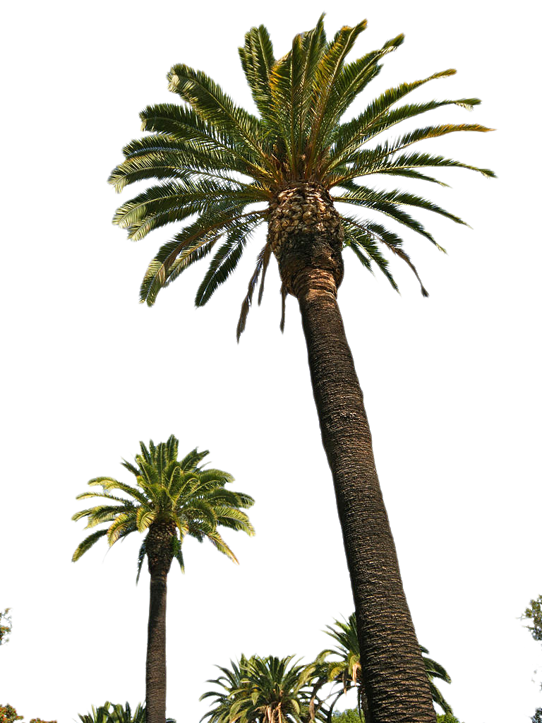 Free palm tree png. Tube stock ii by