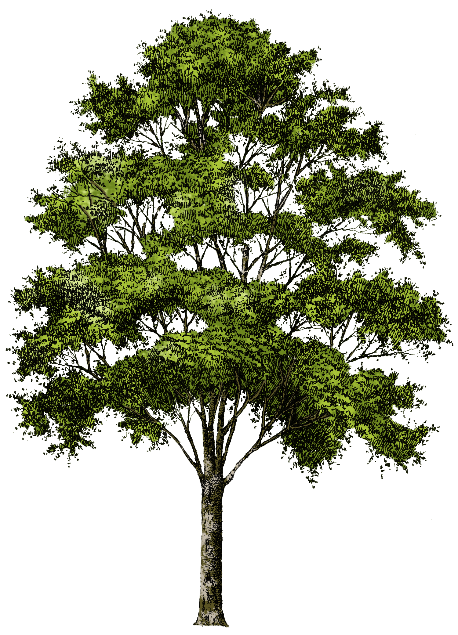 Clipart tree collection free. Png pine trees image freeuse stock