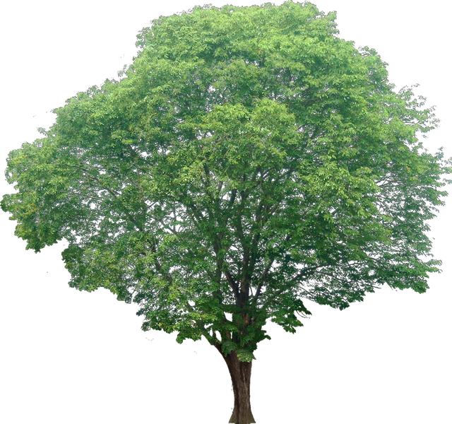 Photoshop tree png. Images free cutouts