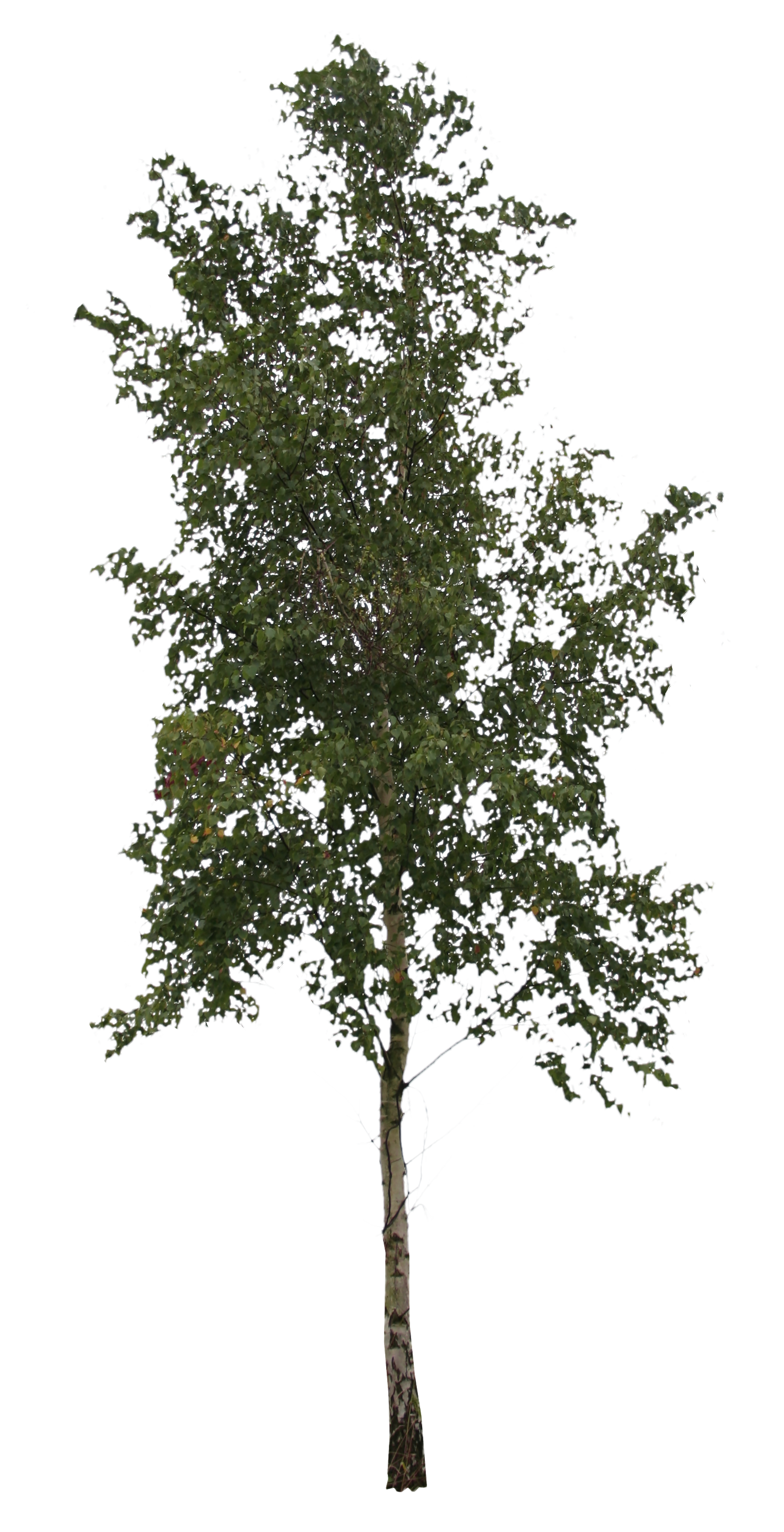Birch tree png. Free cut out people