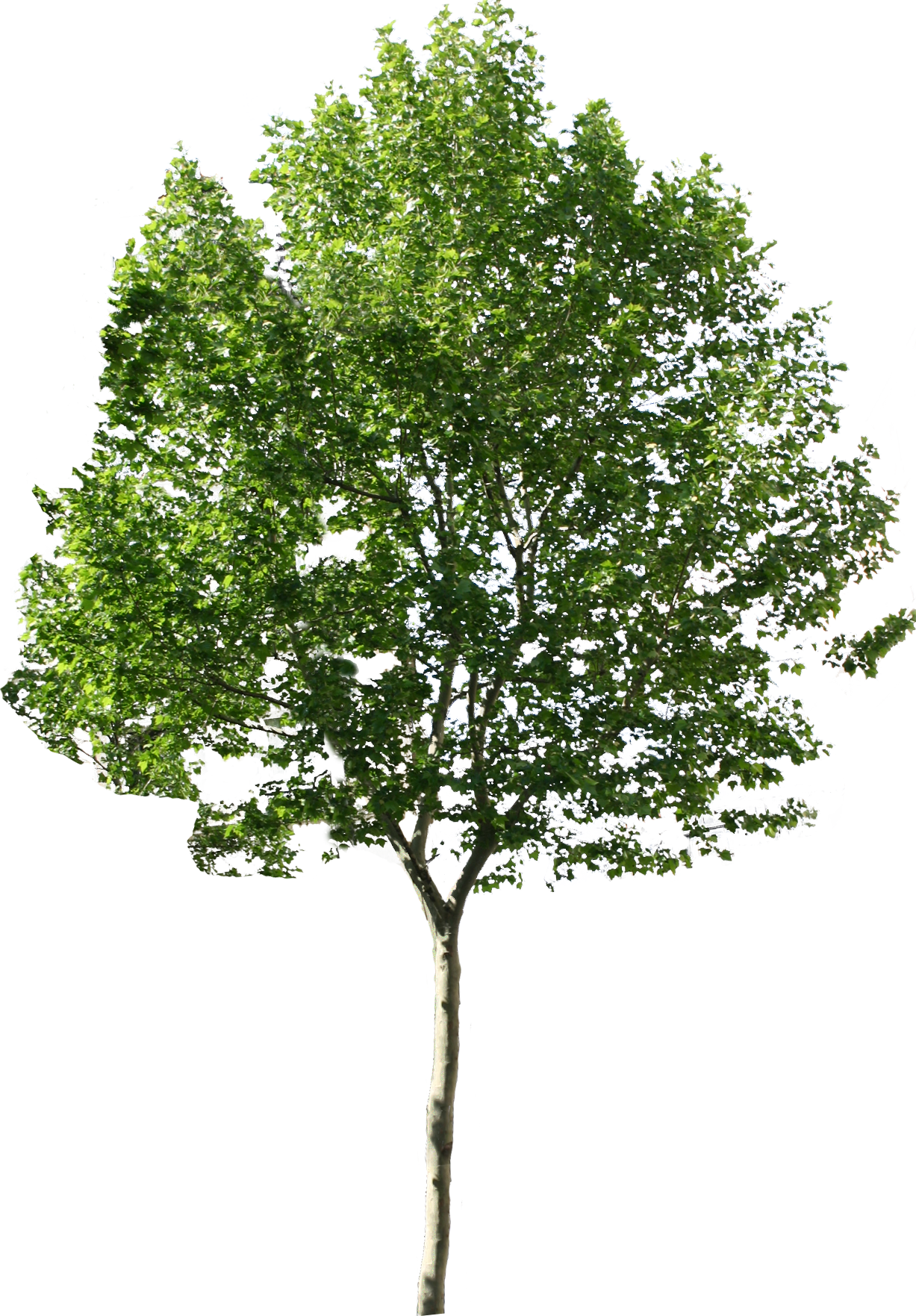 Free tree png. Available in different size