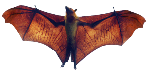 fruit bat png