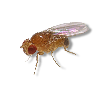 Fruit fly png. Flightless flies live