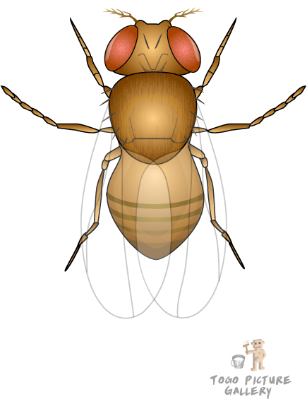 Fruit fly png. File fruitfly drosophila melanogaster
