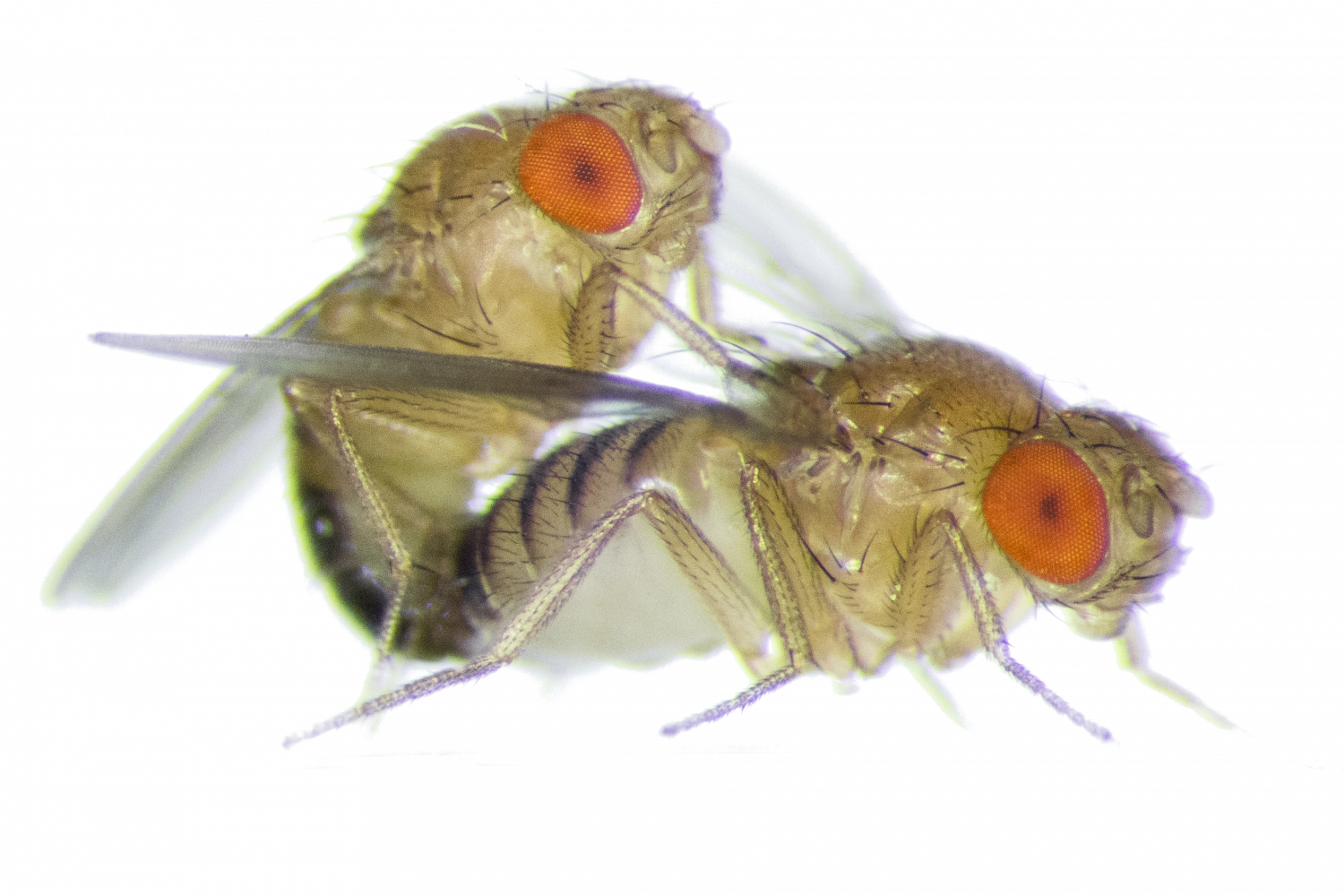 Fruit fly png. Frisky female flies become