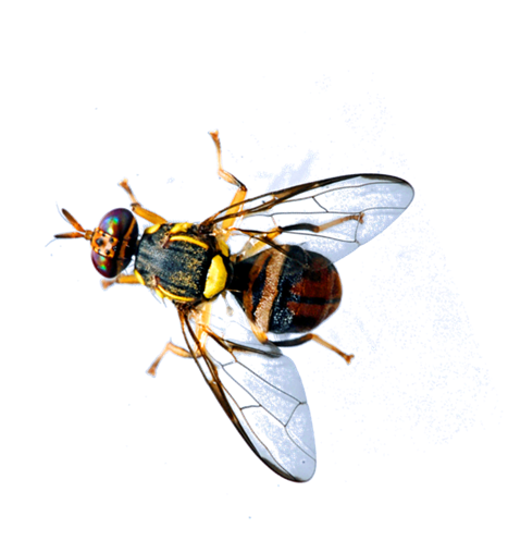 Fruit fly png. Oriental interception in grabouw