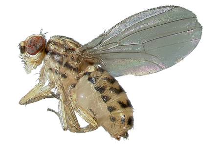 Fruit fly png. Learn about flies identification