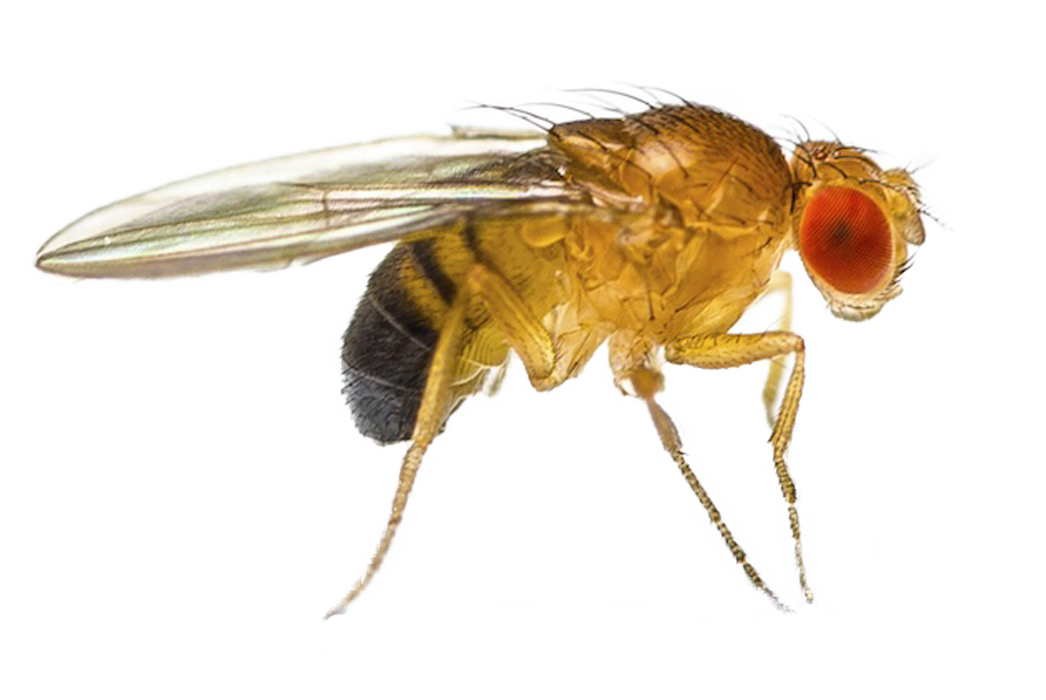 Fruit fly png. Springer pest control fruitfly