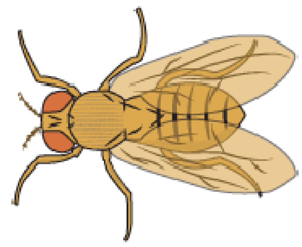 Fruit fly png. Collection of flies