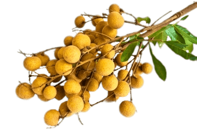 Fruits transparent longan. Branch of png stickpng