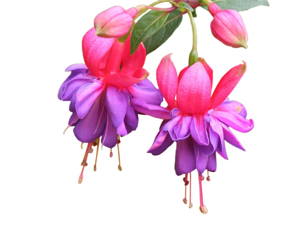 Fuchsia flower png. Photoshop frames wallpapers designs