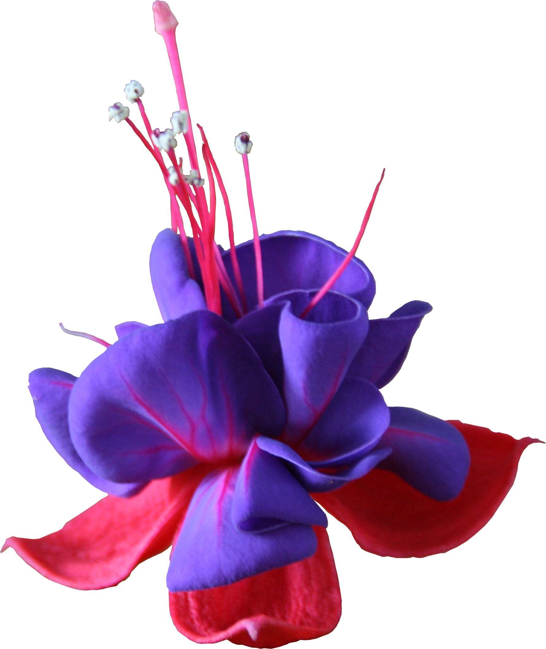 Fuchsia flower png. Fuschia flowers transparent images