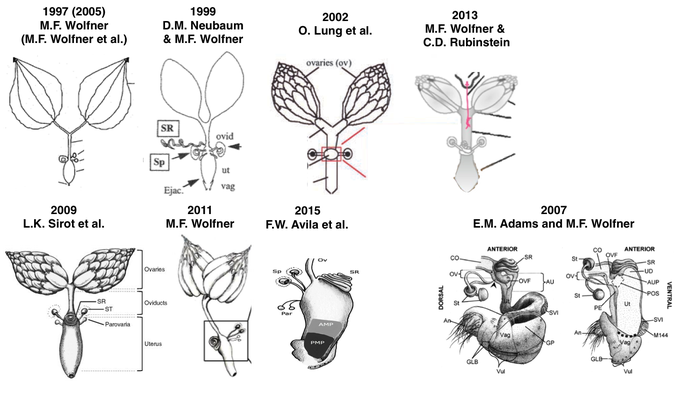 Visualizing the female reproductive. Function drawing drosophila picture library library
