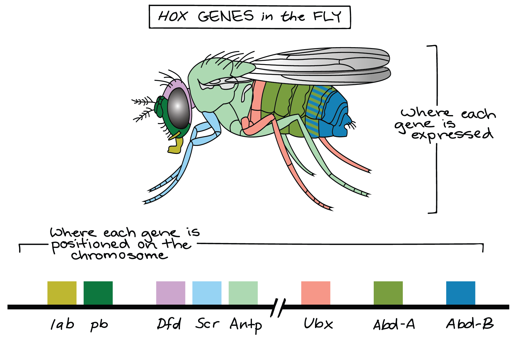 Function drawing fruit fly. Homeotic genes article khan
