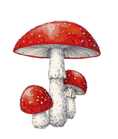 Fungus drawing amanita muscaria. Png by sn ache