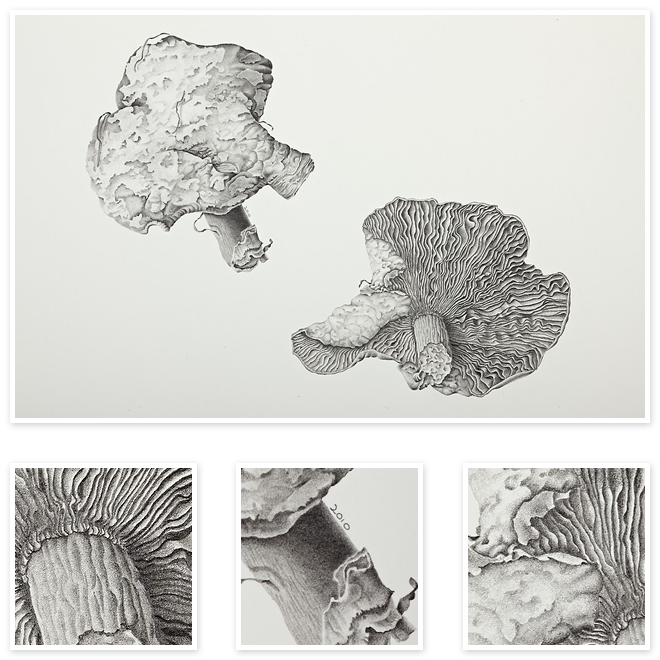 Fungus drawing wild mushroom. Agaric fungi sharon field