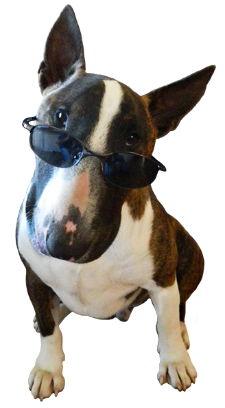 Funny dogs png. Cute dog with sunglasses